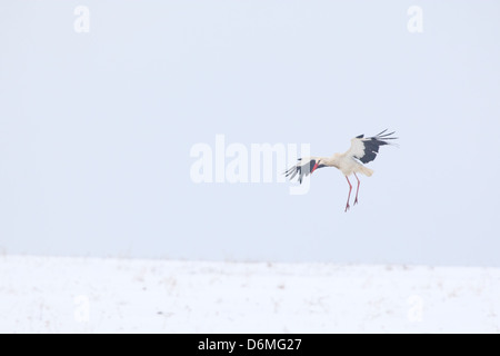 White Stork (Ciconia ciconia) flying over snowy field in spring(April). Europe, Estonia - Stock Photo