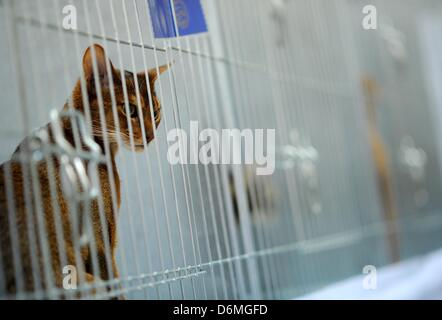 A house cat is pictured at the world cat exhibition in Dortmund, Germany, 20 April 2013. The association Deutsche - Stock Photo