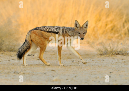 Black-backed Jackal Canis mesomelas Photographed in Etosha National Park, Namibia - Stock Photo