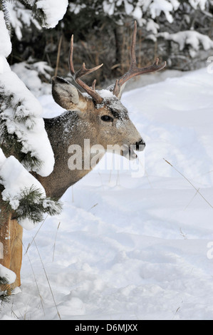 A mule deer buck peeking around some fir tree branches his mouth open and teeth showing. - Stock Photo