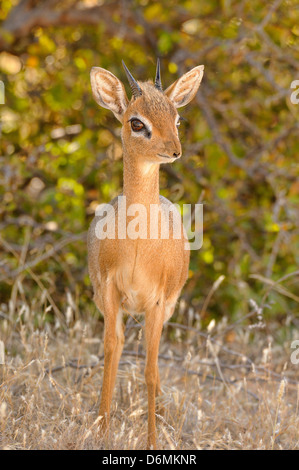 Damar Dik-dik Madoqua kirkii Photographed in Etosha National Park, Namibia - Stock Photo