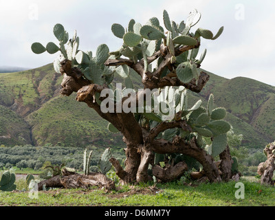 Prickly pear cactus growing in southern Morocco, North Africa - Stock Photo