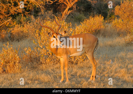 Black-faced Impala Aepyceros melampus petersi Photographed in South Africa - Stock Photo