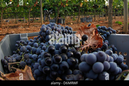 Grapes are seen during collecting season in a vineyard in the Spanish island of Majorca - Stock Photo