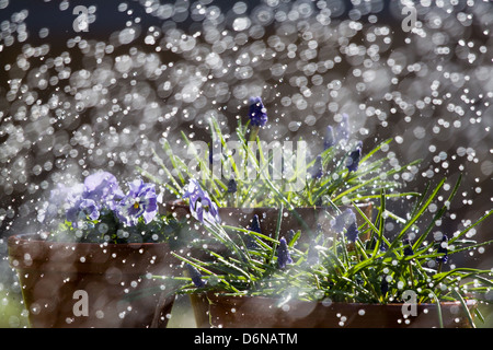 Berlin, Germany, Blumenkuebel be watered by a sprinkler - Stock Photo