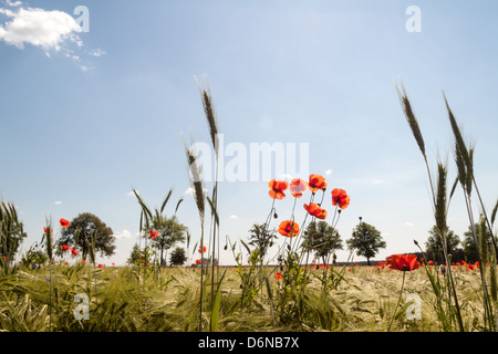 Buchholz, Germany, poppies and cornflowers in a barley field - Stock Photo