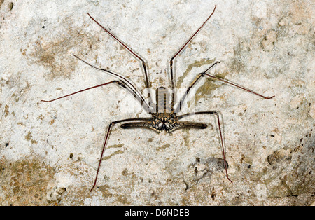 Tailless whipscorpion (Amblypigid) on a grungy cave wall, Ecuador - Stock Photo