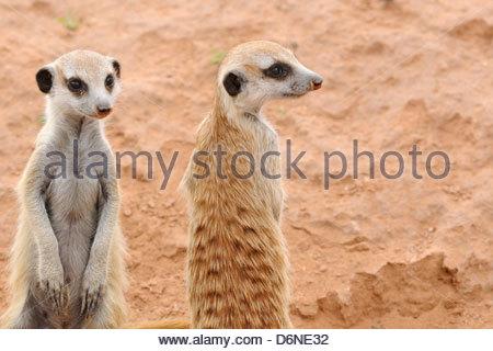 Meerkats (Suricata suricatta), two young at burrow entance, Kgalagadi Transfrontier Park, Northern Cape, South Africa, - Stock Photo