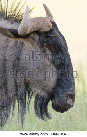 Blue wildebeest (Connochaetes taurinus), adult male standing in the meadow, Kgalagadi Transfrontier Park, Northern - Stock Photo