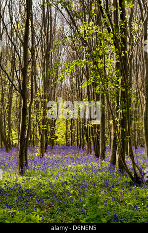 Bluebell woods taken Near Kingsdown and South Wraxall, Somerset, uk - Stock Photo