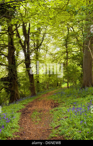 Spring time image of woodland path with vivid spring green colours and early bluebells appearing, taken in Bristol, - Stock Photo