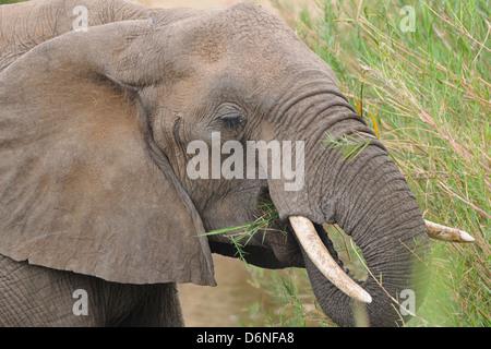 African bush elephant (Loxodonta africana), feeding on green grass, Kruger National Park, South Africa, Africa - Stock Photo
