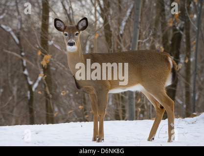 Alert female White Tailed Deer in a Toronto Ontario Canada backyard forest in winter - Stock Photo