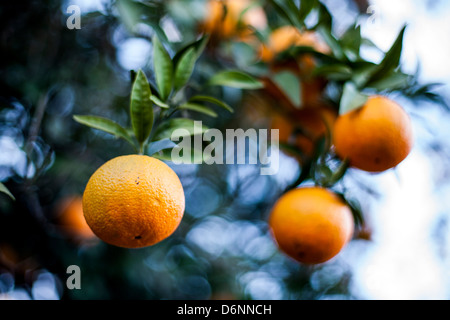 Seville, Spain, Oranges on the tree - Stock Photo