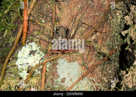 Tailless whipscorpion (Amblypygid) on a tree trunk in Ecuador - Stock Photo