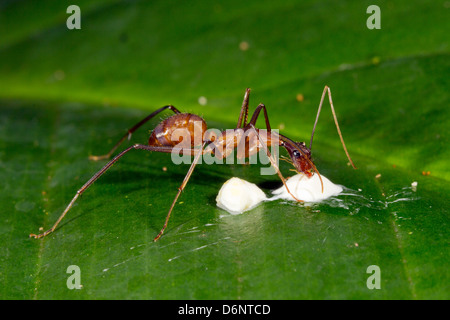 Large slender ant feeding on a bird dropping on a leaf in the rainforest understory, Ecuador - Stock Photo