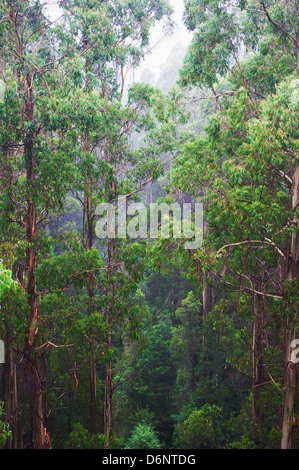 famous Rainforest in the rain from the Tree Top Walk of Otway Fly up to 30 meters above ground level,Great Ocean - Stock Photo
