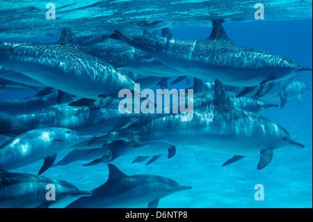 Red Sea, Egypt, Spinner Dolphins at Sataya Kebir - Stock Photo