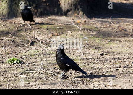 Carrion Crow Corvus corone stood on a dirt Track in London - Stock Photo