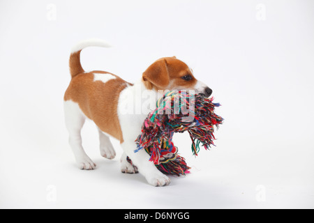 Jack Russell Terrier, puppy, 9 weeks / toy - Stock Photo