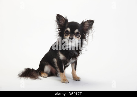 chihuahua mature singles Find small chihuahuas from local breeders near you or advertise your chihuahua puppies for free at dogsnow.