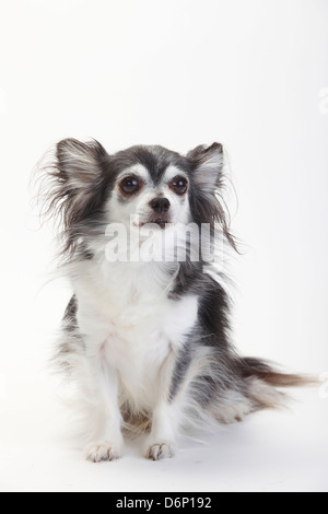Chihuahua, longhaired, black with white, 10 years old |Chihuahua, langhaarig, schwarz mit weiss, 10 Jahre alt / - Stock Photo