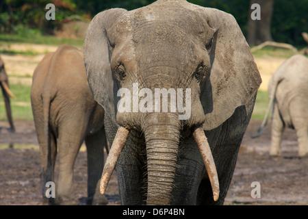Forest Elephants bull, (Loxodonta cyclotis), Dzanga Bai Clearing, Central African Republic, Africa. - Stock Photo