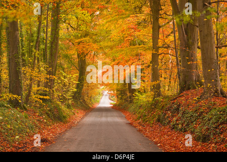 Autumn colours in the beech trees on the road to Turkdean in the Cotwolds, Gloucestershire, England, United Kingdom, - Stock Photo