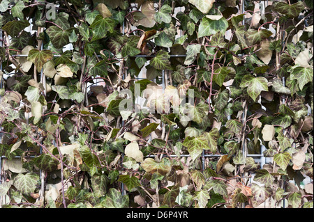 An Ivy fence growing on a wire frame panel. - Stock Photo