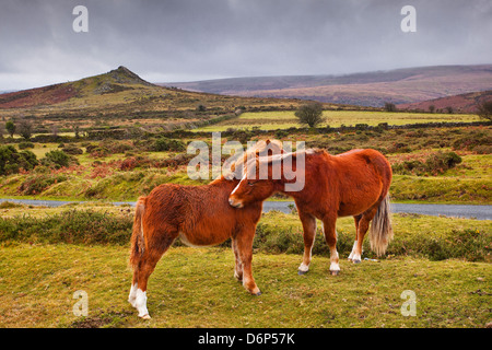 Two ponies in the wilds of Dartmoor, Devon, England, United Kingdom, Europe - Stock Photo