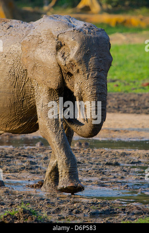 Forest Elephants, (Loxodonta cyclotis) covered in mud, Dzanga Bai Clearing, Central African Republic, Africa. - Stock Photo