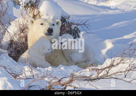 Polar bear (Ursus maritimus) and cubs, Wapusk National Park, Churchill, Hudson Bay, Manitoba, Canada, North America - Stock Photo