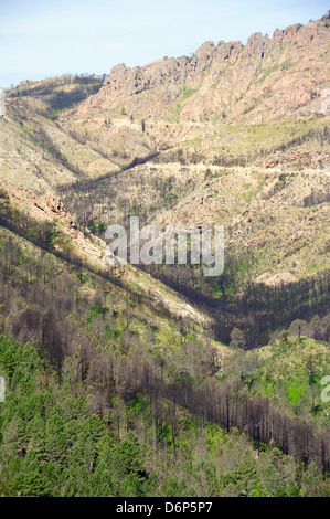 Aftermath of major forest fire in Corsica's National Park (Parc Naturel Regional de Corse), a year on, Aullene, - Stock Photo