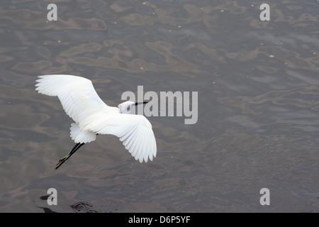 Little egret (Egretta garzetta) flying low over the Tamsui River estuary, Tamsui (Danshui), Taiwan, Asia - Stock Photo