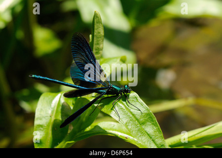Male banded demoiselle damselfly (Calopteryx splendens) preparing to take off from a riverside plant, Wiltshire, - Stock Photo