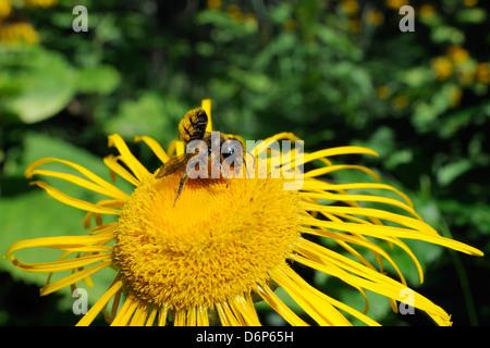 Leafcutter bee (Megachile sp.) feeding from flowerhead of heartleaf oxeye (giant oxeye daisy) (Telekia speciosa), - Stock Photo