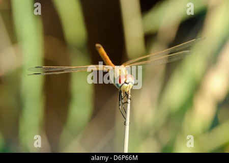 Female red-winged darter dragonfly (Sympetrum fonscolombii) female, clasping spiky stem of Juncus rush, Lesbos (Lesvos), Greece