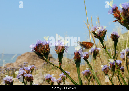 Small skipper (Thymelicus sylvestris) feeding from Winged sea lavender flower, Lesbos (Lesvos), Greek Islands, Greece - Stock Photo