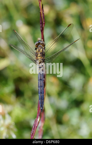 Young male keeled skimmer dragonfly (Orthetrum coerulescens), resting on plant stem, Lesbos (Lesvos), Greece, Europe - Stock Photo