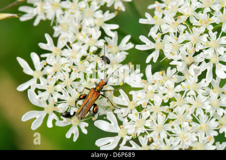 Male thick-legged flower beetle (Oedemera nobilis) foraging on common hogweed flowers, Wiltshire, England, UK - Stock Photo