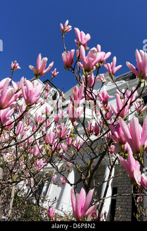 Budding shocking pink magnolia tree,viewed from a low level aspect and set against a deep blue sky. - Stock Photo