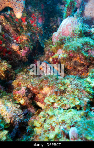 Spotted moray eel (Gymnothorax moringa) in a colourful healthy reef, Dominica, West Indies, Caribbean, Central America - Stock Photo