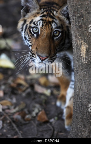 Bengal tiger, Panthera tigris tigris, Bandhavgarh National Park, Madhya Pradesh, India - Stock Photo
