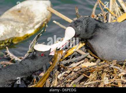 2 coots building their nest over water while incubating eggs. - Stock Photo