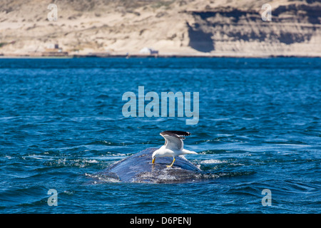 Southern right whale (Eubalaena australis) being fed upon by kelp gull, Golfo Nuevo, Peninsula Valdes, Argentina - Stock Photo