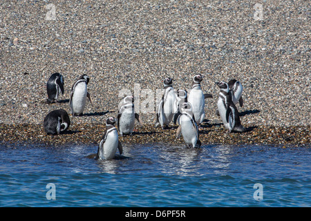 Adult Magellanic penguins (Spheniscus magellanicus), Puerto Deseado, Patagonia, Argentina, South America - Stock Photo