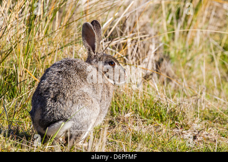 Introduced adult European rabbit (Oryctolagus cuniculus), New Island, Falklands, South Atlantic Ocean, South America - Stock Photo