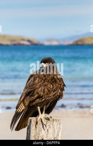 Striated caracara (Phalcoboenus australis), Carcass Island, Falkland Islands, South Atlantic Ocean, South America - Stock Photo