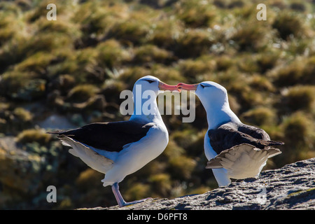 Adult black-browed albatross (Thalassarche melanophrys) pair, nesting site on New Island, Falklands, South America - Stock Photo