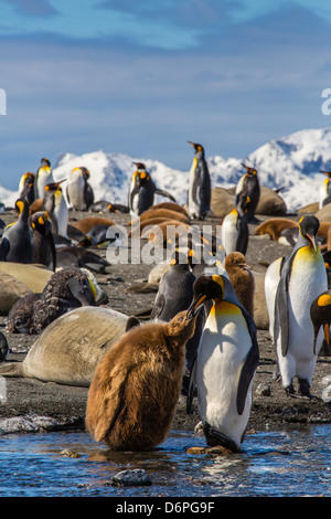 King penguin (Aptenodytes patagonicus) adult feeding chick, Gold Harbour, South Georgia Island - Stock Photo